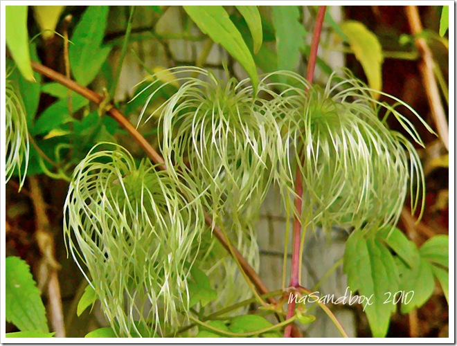Autumn Clematis-The Beatles with logo