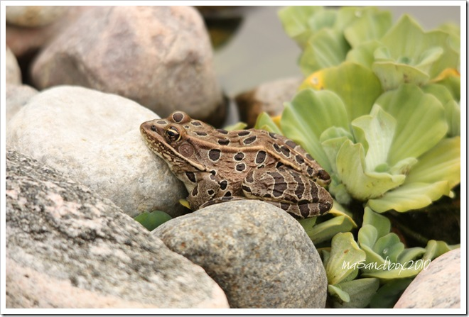 Leopard Frog with logo 9-18