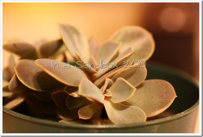 Echeveria macro