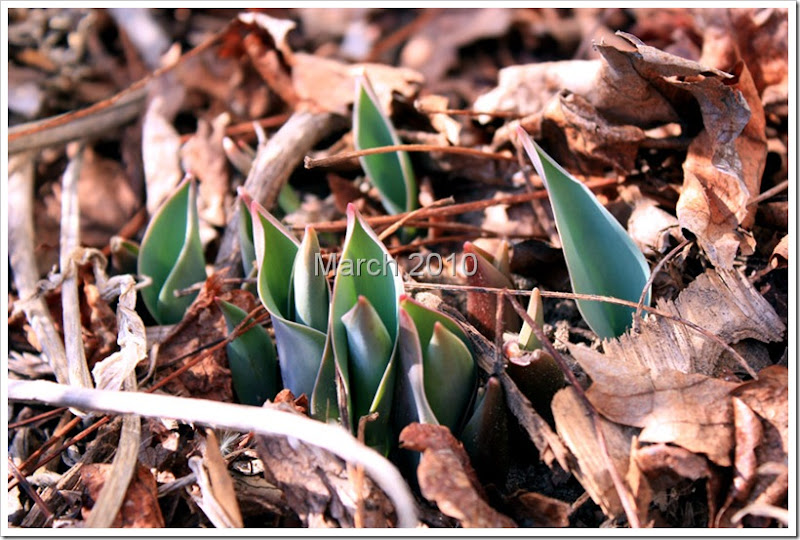 tulips-close-up-web
