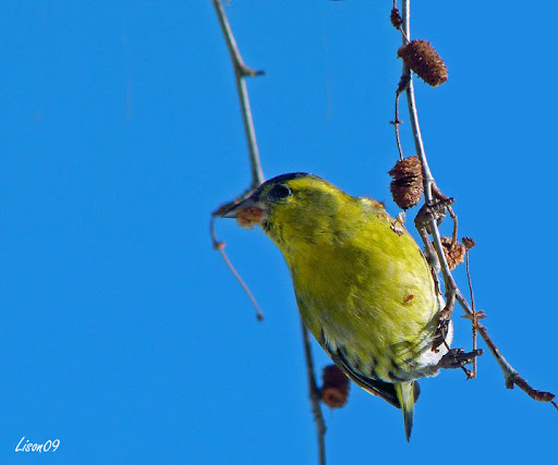 Tarin1100194 dans oiseaux