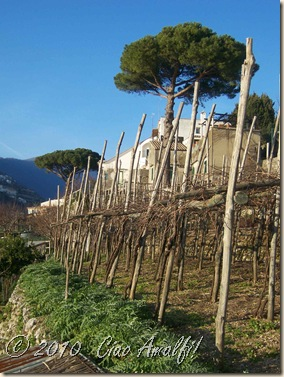 Ciao Amalfi Coast Blog Winter Ravello vines