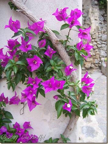 Ciao Amalfi Coast Blog Bougainvillea1
