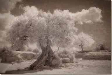 Olive trees at Valle dei Templi1