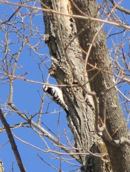 woodpeckercrop
