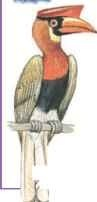 Philippine hornbill