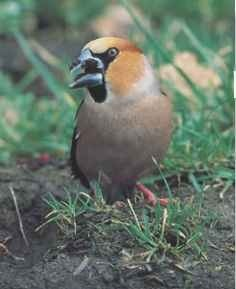 Caught on the hop The hawfinch is wary when ground-feeding.