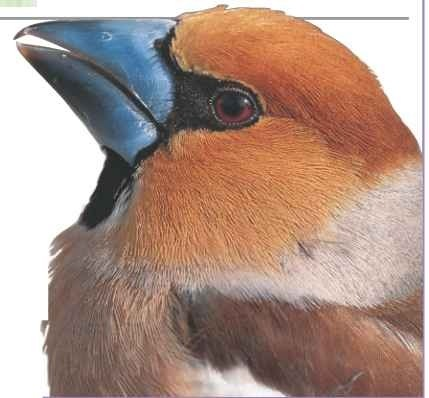 Sharp edge The finely serrated bill helps the hawfinch grip seeds.