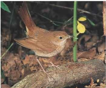 A Sheltered life Nightingales favor habitats like hedges.