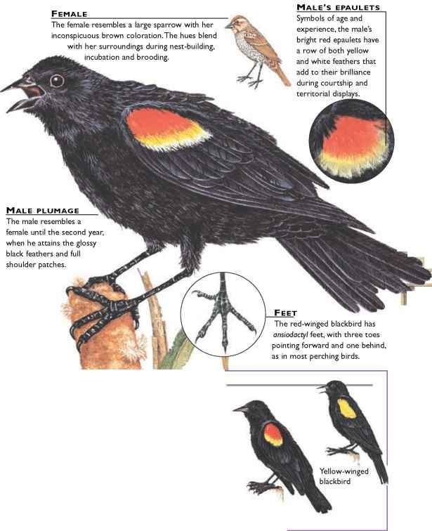 Red Winged Blackbird Birds
