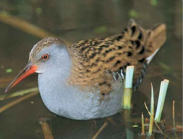 Water Rail