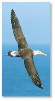 A 6' stretch The long-winged albatross glides to new feeding areas.