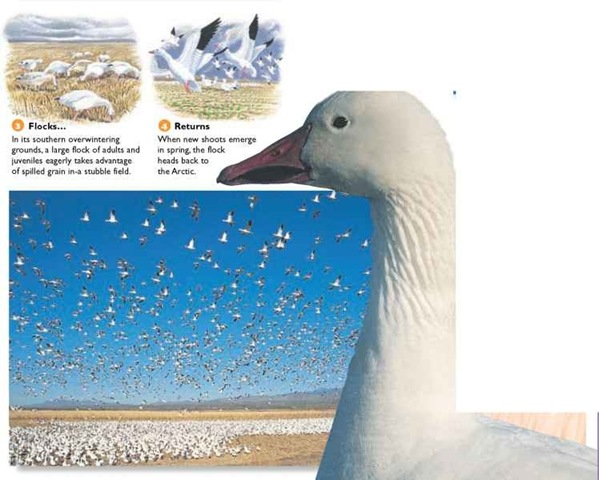 Snow geese are often kept in captivity in areas such as Britain. One population of over 60 birds inhabits the islands of Mull and Coll, off western Scotland.