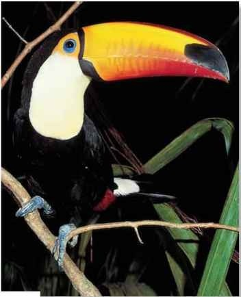 A Show off The toco toucan is easy to spot, even in the treetops.