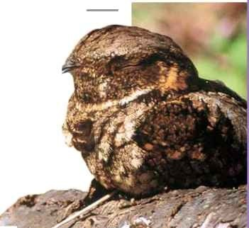 No worries The whippoorwill's plumage helps it hide from danger.