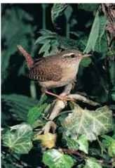 A Rough and ready The winter wren forages and nests in thick cover.