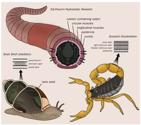 Different types of skeletons: external (snail), hydrostatic (earthworm), and jointed (scorpion).