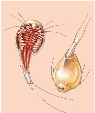 pool tadpole shrimp (Lepidurus packardi); 2. Longtail tadpole shrimp ...