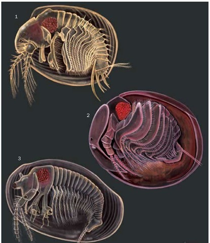1. Cyclestheria hislopi; 2. Graceful clam shrimp (Lynceus gracilicornis); 3. Texan clam shrimp (Eulimnadia texana).