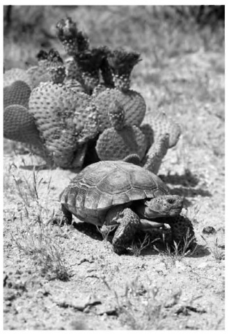 Desert tortoise and beavertail cactus in the Mojave Desert. Only those plant and animal species that can endure a limited water supply and immature soil with heavy deposits of salt in the lower layers can survive a desert environment.