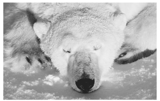 For every climate region on Earth, there are particular types of plants and animals that have adapted to the prevailing conditions .Animals that live in polar regions. like this bear, typically have very small ears, giving them lees surface area to expose to the cold:they also tend to hibernate as a means of en during the winter.