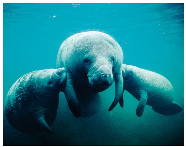Even though newly born manatees begin grazing on vegetation within a few months, the calf continues to nurse from its mother for one to two years.