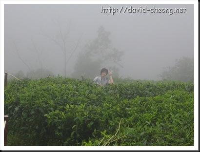 Tea Boh Garden, Cameron Highland