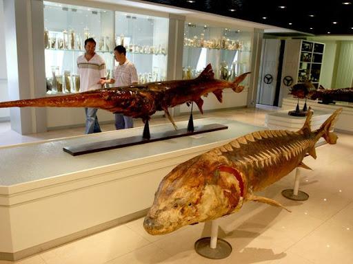 Preserved Paddlefish