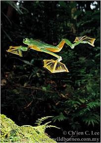 กบบินได้