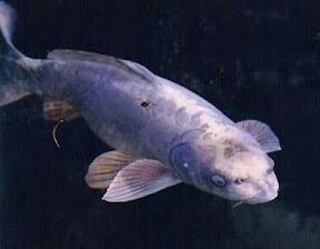 ปลาคาร์ฟหน้าเหมือนคน