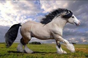 ม้าที่สวยที่สุดในโลก Gypsy Vanner