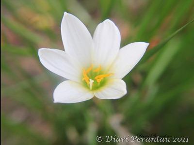 bunga bawang2