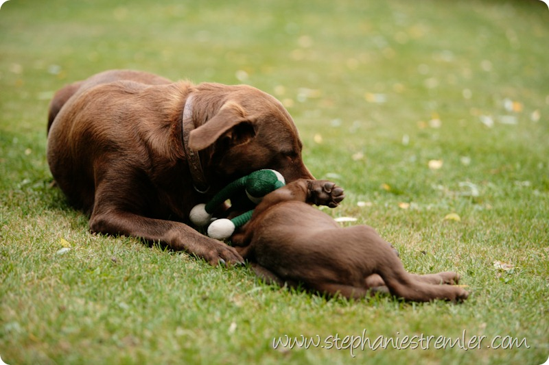 Lynden-Pet-Photographer-Chocolate-Lab-Puppies-105