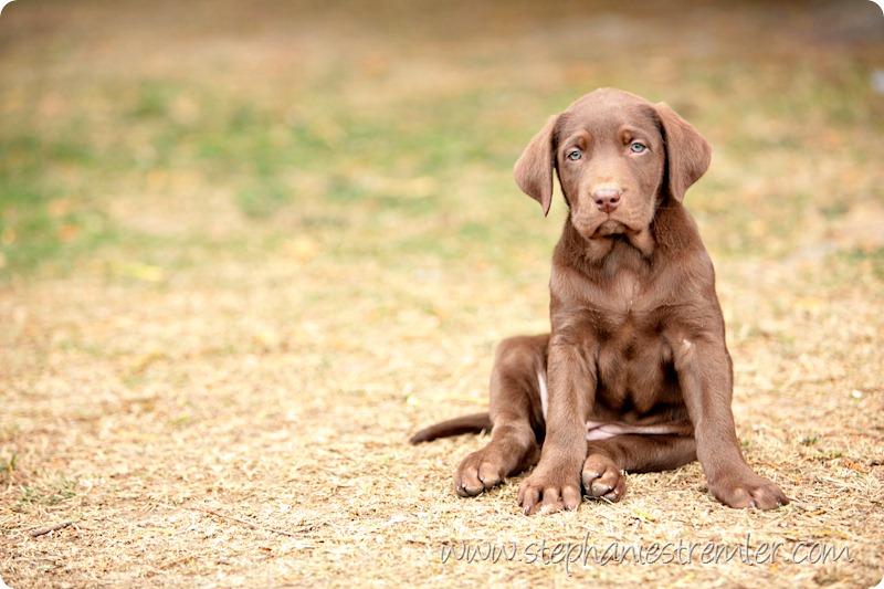Lynden-Pet-Photographer-Chocolate-Lab-Puppies-100