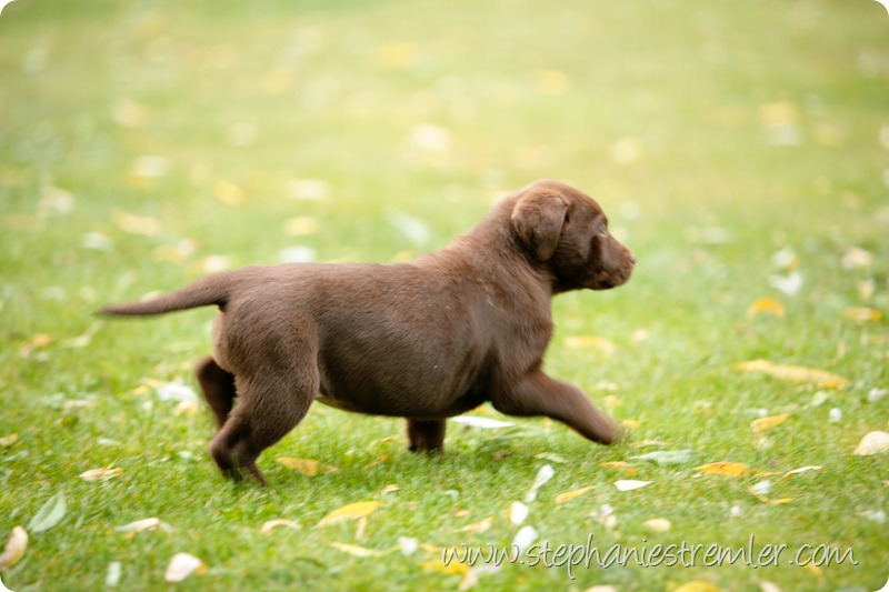 Lynden-Pet-Photographer-Chocolate-Lab-Puppies-101