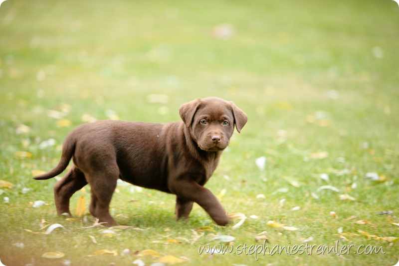 Lynden-Pet-Photographer-Chocolate-Lab-Puppies-102
