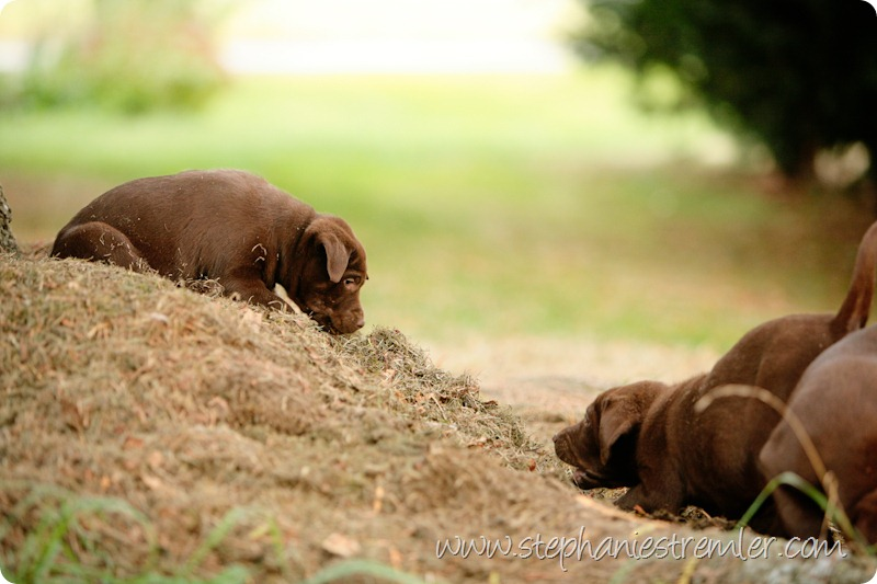 Lynden-Pet-Photographer-Chocolate-Lab-Puppies-108