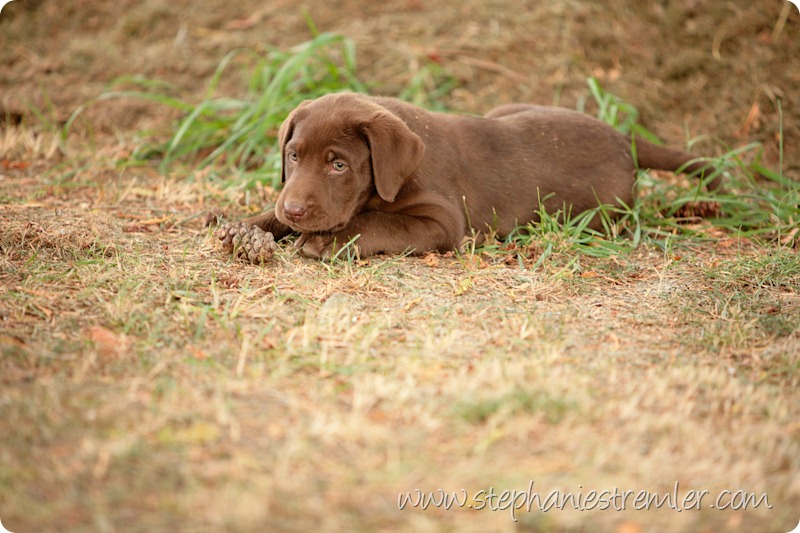 Lynden-Pet-Photographer-Chocolate-Lab-Puppies-110