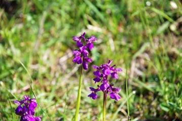 10-Orchidea