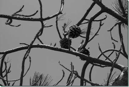 Ansel pine cones