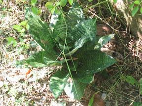 Sansivera Plant