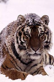 tigre_nieve_1_39241