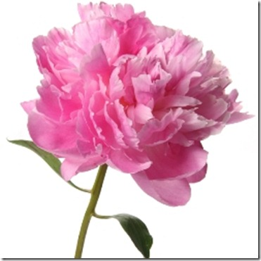 light_pink_peonies_flower_250