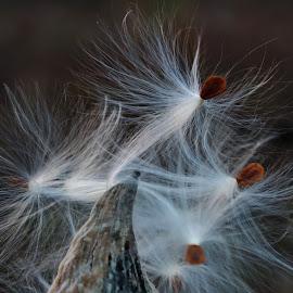 by Lori Kulik - Nature Up Close Other plants ( up close, nature, seeds, pod, milkweek,  )