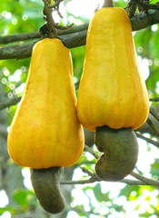 cashew fruit with cashew nut beneath