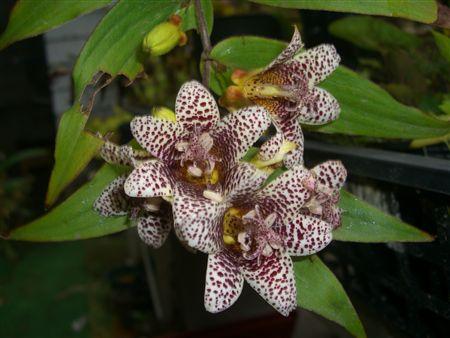 渋い色のホトトギスの花