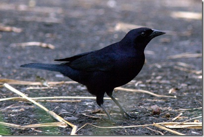 Shiny Cowbird