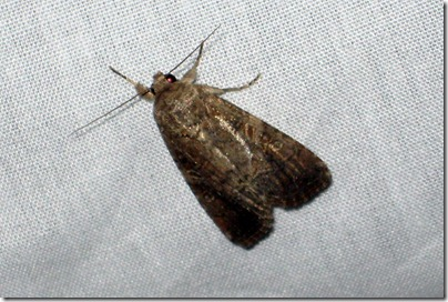 9666 - Spodoptera frugiperda - Fall Armyworm Female - 02