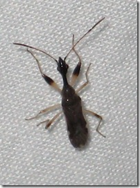 Myodocha serripes - Long-necked Seed Bug