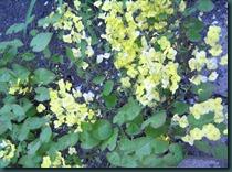 Epimedium × perralchicum